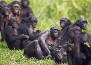 A group of bonobos at the Lola Ya Bonobo Sanctuary, Democratic Republic of Congo.